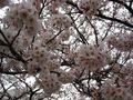 Sakura101